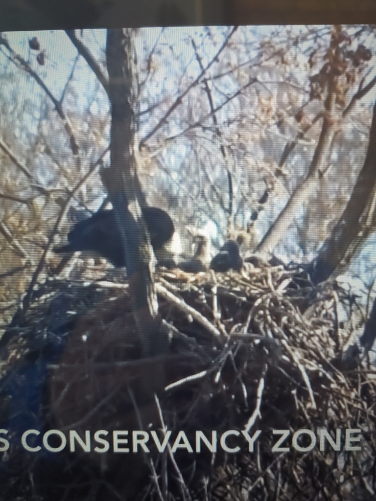 Staff at the 1000 Islands Environmental Center in Kaukauna confirmed there are four eaglets in the eagle nest in the islands that dates back to...